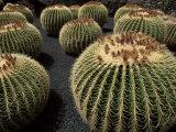 Jardin De Cactus Near Guatiza, Lanzarote, Canary Islands, Spain Impressão fotográfica por Hans Peter Merten