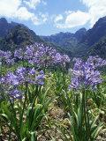 Agapanthus Flowers Near Serra De Agua, Madeira, Portugal Photographic Print by Hans Peter Merten