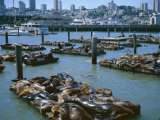 Sea Lions by Pier 39 Near Fisherman's Wharf, with City Skyline Beyond, San Francisco, USA Photographic Print by Christopher Rennie