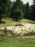 Shepherds Tending Sheep, Bucegi Mountains, Carpathian Mountains, Transylvania, Romania Photographic Print by Christopher Rennie