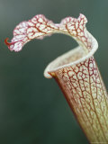 Trap of Carnivorous Plant, Sarracenia Leucophylla, Kew Gardens, London, England Photographic Print by Lousie Murray