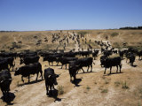 Cattle Transhumance, Spain Photographic Print by Robin Hanbury-tenison