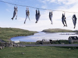 Fish Drying, Skerries, Shetlands, Scotland, United Kingdom Photographic Print by Lousie Murray