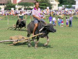Racing Buffalo Pulling Plough at Kota Belud Festival in November, Sabah, Malaysia, Island of Borneo Photographic Print by Lousie Murray
