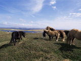 Groups of Shetland Ponies Graze the Moors of Yell, Shetlands, Scotland, United Kingdom Photographic Print by Lousie Murray