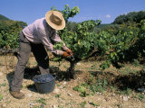 Spanish Seasonal Worker Picking Grapes, Seguret Region, Vaucluse, Provence, France Photographic Print by Duncan Maxwell