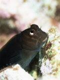Goby Lives in Holes in Coral, Aldabra, Seychelles, Indian Ocean, Africa Photographic Print by Lousie Murray
