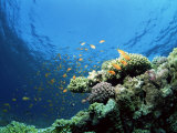 Sunlit Reef Top with Hard Corals and Anthias, Red Sea, Egypt, North Africa, Africa Photographic Print by Lousie Murray