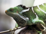 Fijian Crested Iguana, Endemic to Fiji, Brachylophus Vitiensis, Kulu Wildlife Park Photographic Print by Lousie Murray