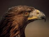 Golden Eagle, Highland Region, Scotland, United Kingdom Photographic Print by Roy Rainford