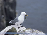 Kittiwake, Pembrokeshire, Wales, United Kingdom Papier Photo par Roy Rainford