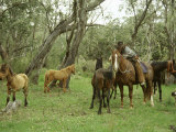 Chasing and Catching Brumbies (Wild Bush Horses), Victoria, Australia Photographic Print by Claire Leimbach