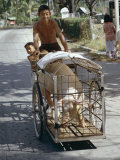Man Transporting His Pig on a Tricycle, Langkawi Island, Malaysia, Southeast Asia Photographic Print by Claire Leimbach