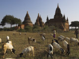 Herd of Goats Grazing in Front of Temples in the Bagan (Pagan) Archaeological Zone, Myanmar (Burma) Photographic Print by Eitan Simanor