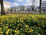 Roy Rainford - Daffodils in Hyde Park Near Hyde Park Corner, London, England, United Kingdom - Fotografik Baskı