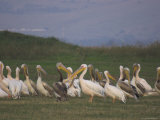 Group of Pelicans Resting on the Ground at Dusk, Galilee Panhandle, Middle East Photographic Print by Eitan Simanor