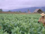 Tobacco Harvest, Vinales Valley, Pinar Del Rio Province, Cuba, West Indies, Central America Photographic Print by Bruno Morandi