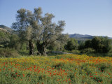 Spring Flowers and Olive Trees on Lower Troodos Slopes Near Arsos, Cyprus Fotografie-Druck von Michael Short