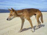 Wild Dingo on Beach, Australia Photographic Print by Mark Mawson