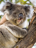 Koala, Ottway National Park, Victoria, Australia Photographic Print by Mark Mawson