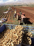 Potato Harvest, Bekaa Valley, Lebanon, Middle East Photographic Print by S Friberg