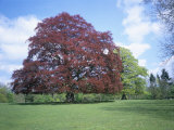 Copper Beech Tree, Croft Castle, Herefordshire, England, United Kingdom Photographic Print by David Hunter