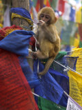 Young Monkey Sitting on Prayer Flags Tied on a Pole, Darjeeling, India Lmina fotogrfica por Eitan Simanor