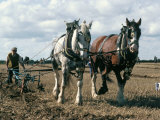 Ploughing with Shire Horses, Derbyshire, England, United Kingdom Fotografie-Druck von Michael Short