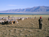 Flock of Goats, Uureg Nuur Lake, Uvs Province, Mongolia, Central Asia Photographic Print by Bruno Morandi