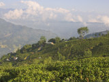 Singtom Tea Garden, Snowy and Cloudy Kandchengzonga Peak in Background, Darjeeling, Himalayas Lmina fotogrfica por Eitan Simanor