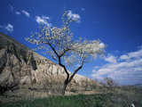 Almond Tree in Bloom, Zelve, Cappadocia, Anatolia, Turkey, Eurasia Lmina fotogrfica por Marco Simoni