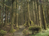 Cedar Forest, Alishan National Forest Recreation Area, Chiayi County, Taiwan Photographic Print by Christian Kober