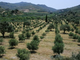 Olive Trees, Near Spili, Island of Crete, Greece, Mediterranean Photographic Print by Marco Simoni