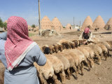 Sheep Being Milked in Front of Beehive Houses Built of Brick and Mud, Srouj Village, Syria Reproduction photographique par Christian Kober