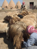 Sheep Being Milked in Front of Beehive Houses Built of Brick and Mud, Srouj Village, Syria Photographic Print by Christian Kober