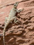 Desert Lizard, Petra, Wadi Musa (Mousa), Jordan, Middle East Photographic Print by Christian Kober