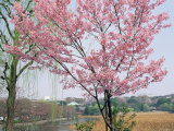 Spring Blossom and Lake at Ueno-Koen Park, Ueno, Tokyo, Japan Photographic Print by Richard Nebesky