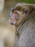 Monkey at Yong Kasem Beach, Known as Monkey Beach, Phi Phi Don Island, Thailand, Southeast Asia Photographic Print by Sergio Pitamitz