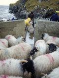 Shepherd and Sheep, Harris, Western Isles, Scotland, United Kingdom Photographic Print by Oliviero Olivieri