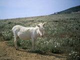 Donkey, Asinara, Sardinia, Italy Lámina fotográfica por Oliviero Olivieri