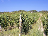Vineyards in Village of Modra, Bratislava Region, Slovakia Photographic Print by Richard Nebesky
