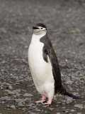 Chinstrap Penguin, Aitcho Island, South Shetland Islands, Antarctica, Polar Regions Photographic Print by Sergio Pitamitz