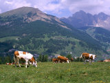 Cows Grazing at Monte Pana and Leodle Geisler Odles Range in Background, Dolomites, Italy Photographic Print by Richard Nebesky