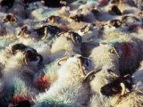 Sheep, Island of Harris, Western Isles, Scotland, United Kingdom Photographic Print by Oliviero Olivieri