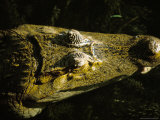 Close-Up of the Head of a Common Caiman, River Chagres, Soberania Forest National Park, Panama Photographic Print by Sergio Pitamitz