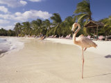 Flamingo, Sonesta Island, Aruba, West Indies, Dutch Caribbean, Central America Photographic Print by Sergio Pitamitz