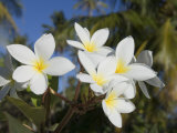 Frangipani Flowers, Fakarawa, Tuamotu Archipelago, French Polynesia Islands Photographic Print by Sergio Pitamitz