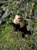White Faced Capuchine Monkey (Cebus Capucinus), Soberania Forest National Park, Gamboa, Panama Photographic Print by Sergio Pitamitz