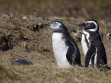 Magellanic Penguin Colony, Seno Otway, Patagonia, Chile, South America Photographic Print by Sergio Pitamitz