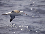 Northern Giant Petrel (Macronectes Halli), Drake Passage, Chile, South America Photographic Print by Sergio Pitamitz